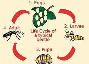 Life cycle of beetle diagram